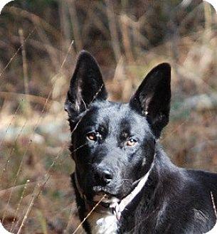 German Shepherd Dog Mix Dog for adoption in Dripping Springs, Texas - Gunner