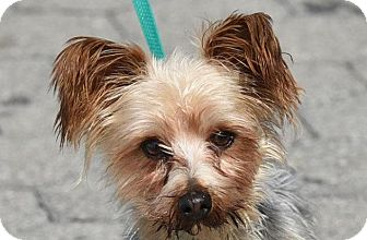 Yorkie, Yorkshire Terrier Mix Dog for adoption in New Haven, Connecticut - TEACUP