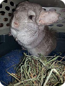 Chinchilla for adoption in Lindenhurst, New York - Hammy
