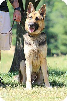 German Shepherd Dog Dog for adoption in Greeneville, Tennessee - Deacon