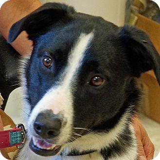 Border Collie Mix Dog for adoption in Sprakers, New York - Sammy