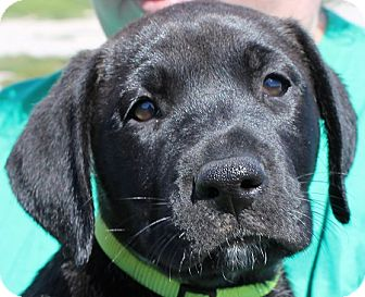 Labrador Retriever Puppy for adoption in Grinnell, Iowa - Peanut