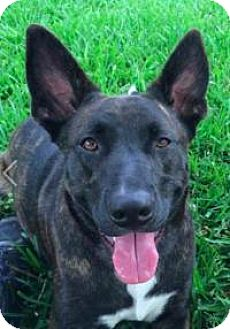 German Shepherd Dog/Plott Hound Mix Dog for adoption in New Smyrna Beach, Florida - Katie