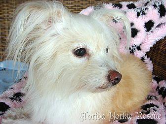Maltese/Papillon Mix Dog for adoption in Palm City, Florida - Magnolia