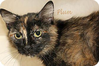 Domestic Shorthair Cat for adoption in Idaho Falls, Idaho - Plum