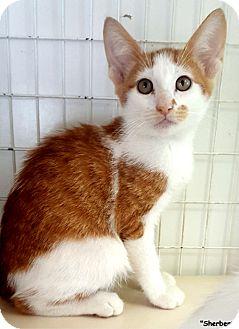 Domestic Shorthair Kitten for adoption in Key Largo, Florida - Shebert