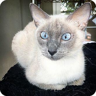 Siamese Cat for adoption in Fredericksburg, Texas - Paige