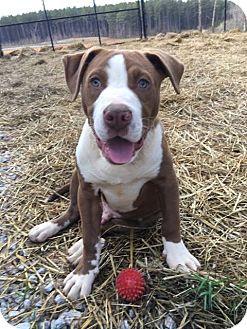 American Bulldog Mix Puppy for adoption in Allentown, New Jersey - Zorro