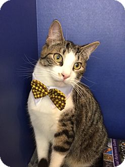 Domestic Shorthair Cat for adoption in Houston, Texas - Hemingway