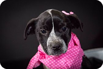 Boston Terrier/Blue Heeler Mix Puppy for adoption in Hershey, Pennsylvania - Mary Ann