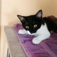 Domestic Shorthair/Domestic Shorthair Mix Cat for adoption in St. Thomas, Virgin Islands - ACE