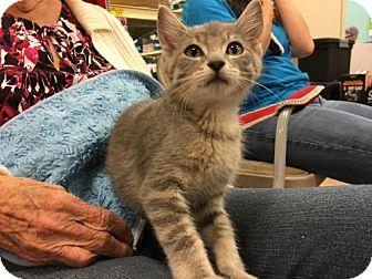 Domestic Shorthair Kitten for adoption in Wilmore, Kentucky - Grayson