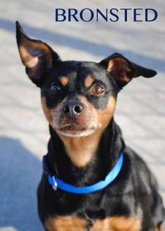 Miniature Pinscher Mix Dog for adoption in Erie, Pennsylvania - 10294 (10020) Bronsted