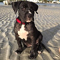 Pit Bull Terrier Mix Puppy for adoption in New Smyrna Beach, Florida - Jazmine