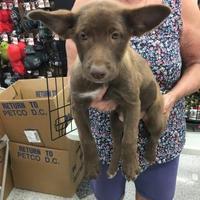 Adopt A Pet :: Callie - Tucson, AZ