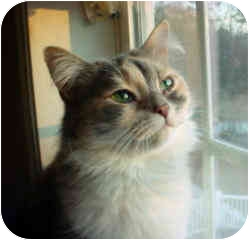 Domestic Longhair Cat for adoption in Pittstown, New Jersey - Callie