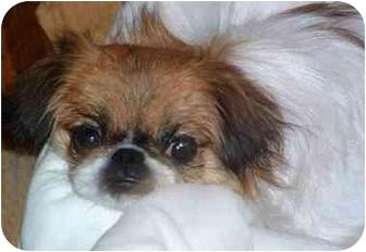 Pekingese/Japanese Chin Mix Dog for adoption in Mays Landing, New Jersey - Kami