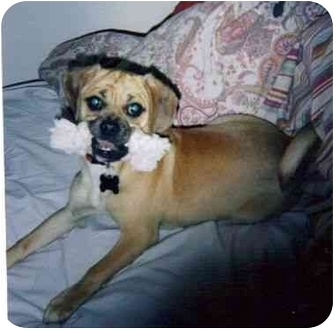 Pug/Beagle Mix Puppy for adoption in Northville, Michigan - Lucy