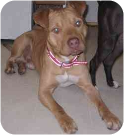 American Pit Bull Terrier Puppy for adoption in Sacramento, California - Moose-total love