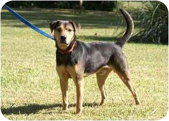 Hound (Unknown Type)/Labrador Retriever Mix Dog for adoption in Houston, Texas - Sammie Boy