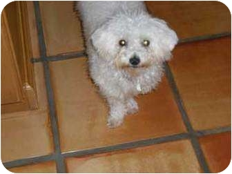 Poodle (Toy or Tea Cup)/Bichon Frise Mix Puppy for adoption in Melbourne, Florida - WYNTER