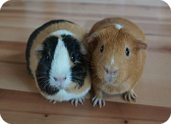 Guinea Pig for adoption in Brooklyn Park, Minnesota - Pumpkin & Buttercup