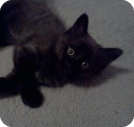 Domestic Mediumhair Kitten for adoption in Crown Point, Indiana - Hippity