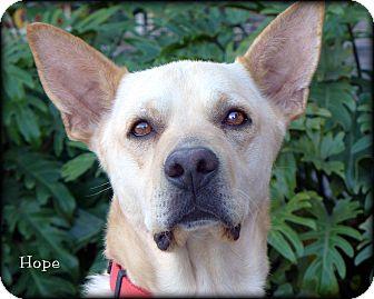 Shepherd (Unknown Type)/Labrador Retriever Mix Dog for adoption in Vista, California - Hope