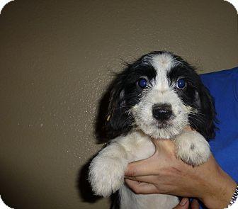 Schnauzer (Miniature)/Beagle Mix Puppy for adoption in Oviedo, Florida - Rose