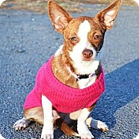 Adopt A Pet :: *Gidget - PENDING - Westport, CT
