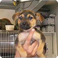 Adopt A Pet :: Dinna - Alexandria, VA
