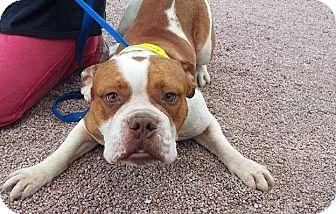 English Bulldog Mix Dog for adoption in Scottsdale, Arizona - Robin