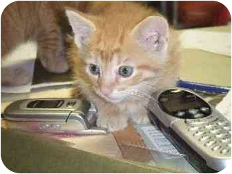 Domestic Shorthair Kitten for adoption in Mason City, Iowa - John
