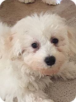 Bichon Frise Puppy for adoption in Fairview Heights, Illinois - Blizzard