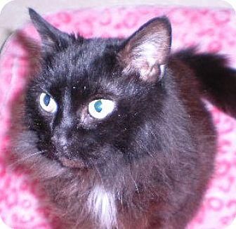 Domestic Longhair Cat for adoption in New Castle, Pennsylvania - Mystique