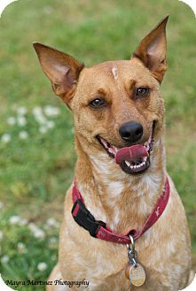 Australian Cattle Dog Mix Dog for adoption in Knoxville, Tennessee - Joey