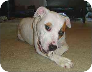 Pit Bull Terrier Mix Dog for adoption in Wilmington, North Carolina - *MORGAN*