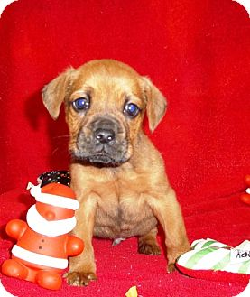 Boxer Mix Puppy for adoption in Greenville, Kentucky - JethRo