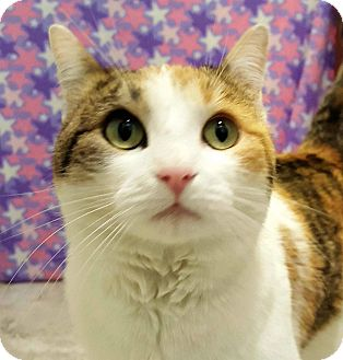 Calico Cat for adoption in Columbus, Ohio - Mieze