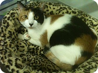Calico Cat for adoption in Fort Lauderdale, Florida - Tilly