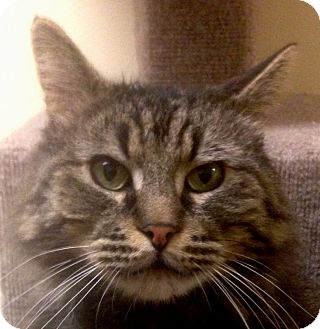 Norwegian Forest Cat Cat for adoption in Winchester, California - Simon