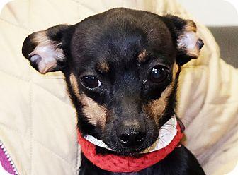 Chihuahua Mix Dog for adoption in Spokane, Washington - Darla