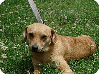 Fox Terrier (Smooth)/Chihuahua Mix Dog for adoption in Washington, D.C. - Carter