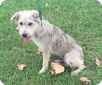 Schnauzer (Standard)/Terrier (Unknown Type, Medium) Mix Dog for adoption in Seattle, Washington - Gray