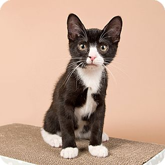 Domestic Shorthair Kitten for adoption in Wilmington, Delaware - Shindig