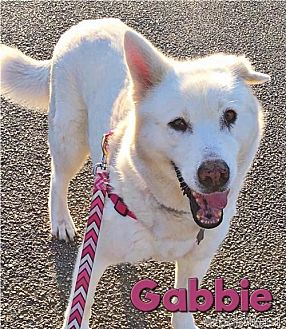 Siberian Husky Dog for adoption in Carrollton, Texas - Gabbie