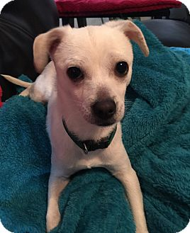 Chihuahua Mix Puppy for adoption in New York, New York - Sammy