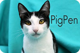 Domestic Shorthair Kitten for adoption in Wichita Falls, Texas - Pig-Pen