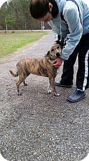 Plott Hound Mix Dog for adoption in Oakdale, Louisiana - Tiger Lily