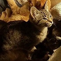 Domestic Shorthair Cat for adoption in Morehead, Kentucky - Spruce 2 YOUNG MALE